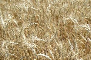 Валовой сбор озимых зерновых культур в Чечне достиг 225 тыс. тонн