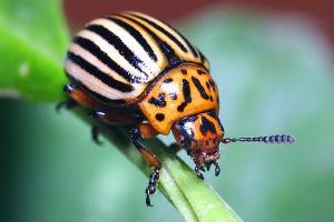 Краснодарские ученые предлагают бороться с колорадскими жуками с помощью клопов
