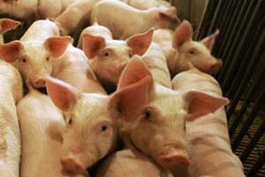 Ветеринары: Распространение АЧС спровоцировала халатность крымчан