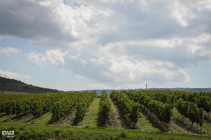 Старинный обряд обрезания лозы провели виноградари Новороссийска