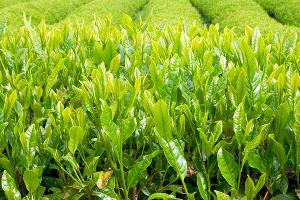 В Сочи сдадут в аренду заброшенные чайные плантации
