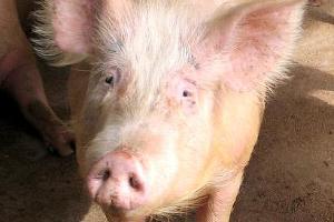 В Усть-Лабинском районе Кубани из-за АЧС уничтожено более 600 свиней