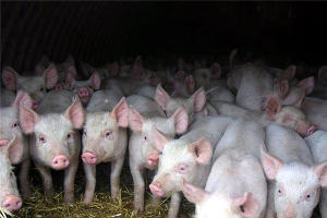 В Крыму выявлен третий очаг африканской чумы свиней