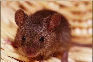 Мышевидные грызуны наносят урон аграриям Дагестана