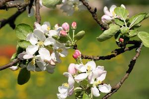 Тхакушинов: Постепенно Адыгея превращается в цветущий яблоневый сад