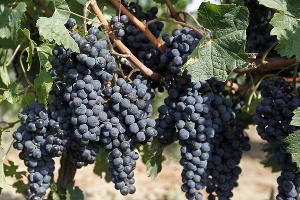 Аграрии Темрюкского района собрали 24,5 тыс. тонн винограда