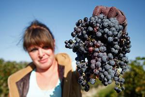 На Кубани в 2015 году прогнозируют снижения урожая винограда на 16%