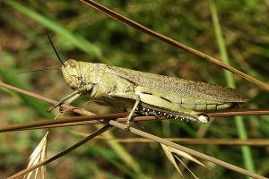 Урожай на Кубани подвергся нападению саранчи