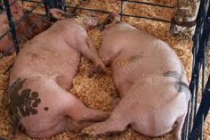 В Крыму из-за АЧС уничтожат 1600 свиней