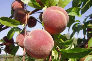 Аграрии Геленджика соберут 30 тонн персиков