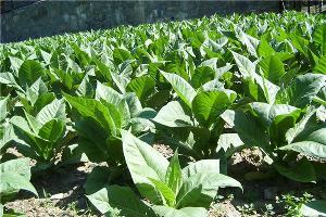 Итальянцы собираются выращивать табак в Горячем Ключе