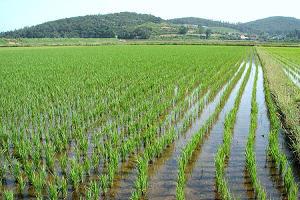 В Адыгее ожидают хороший урожай риса