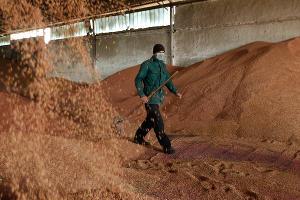 Кубанские аграрии убрали рекордный урожай озимого ячменя