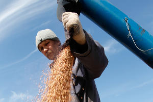 На Кубани 5 млрд рублей направят на поддержку семеноводства