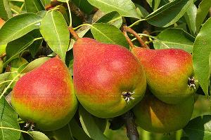 В Адыгее ученые хотят возродить староадыгские сорта плодовых деревьев