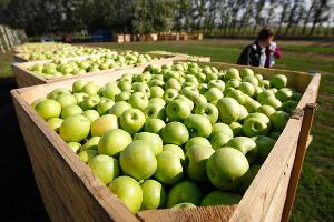 Аграрии Туапсинского района завершили сбор яблок
