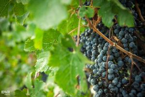 Севастопольские аграрии в 2016 году собираются высадить до 1 тыс. га новых виноградников