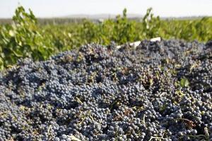 Швейцарские инвесторы заинтересовались развитием виноградарства в Дагестане