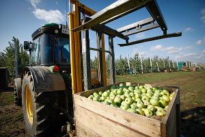 Сбор урожая фруктов начался в совхозах Туапсинского района
