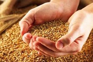 В Адыгее ожидают урожай зерновых на уровне прошлого года