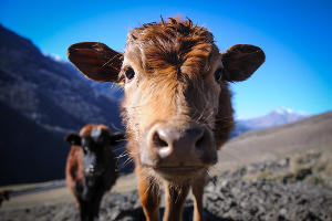 На развитие животноводства субсидии получат только 4 региона СКФО