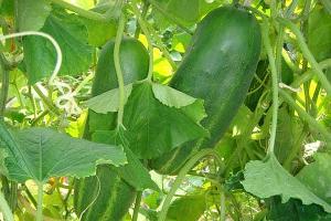 Фермеры Туапсинского района увеличили производство сельхозпродукции