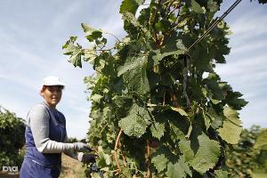 На Кубани на развитие садоводства и виноградарства в 2016 году выделят 900 млн рублей
