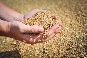 Аграрии Краснодара в 2015 году собрали 95 тыс. тонн зерна