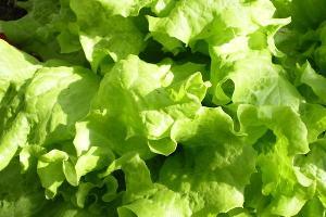 В Адыгее планируют выращивать салаты по итальянской технологии