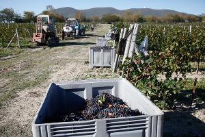 Более 118 тыс. тонн винограда собрали в Темрюкском районе