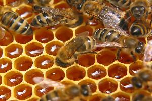 В Сочи более чем на 300 пасеках приступили к сбору меда