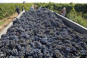 Аграрии Темрюкского района собрали почти 40 тыс. тонн винограда