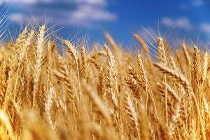 В Ростовской области 2,25 млн гектаров засеют озимыми