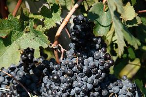 В Анапе в 2015 году высадили более 70 га новых виноградников