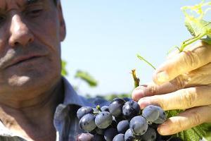 Снижение урожая винограда на 15% ожидают на Кубани в 2015 году