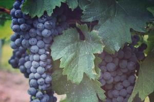 На Ставрополье в 2016 году на поддержку виноградарства направят более 100 млн рублей