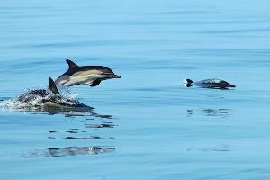 Дельфины ©Изображение пресс-службы НК «Роснефть»