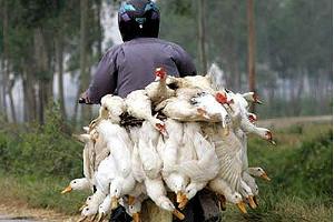 """Птичий грипп. Фото: """"Русский Newsweek"""" ©Фото Юга.ру"""