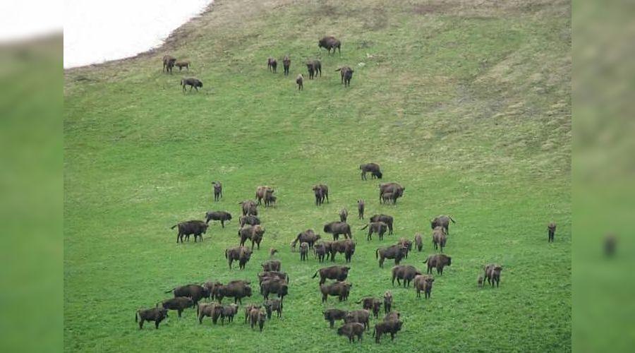 Зубры в Кавказском заповеднике ©Фото из группы vk.com/kavzapoved