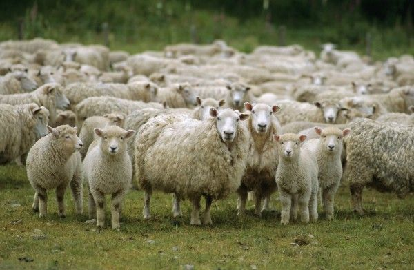 Двое граждан Волгограда попались накраже 200 голов скота наДону