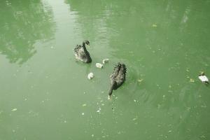 Австралийские черные лебеди ©Фото пресс-службы сочинского парка «Дендрарий»