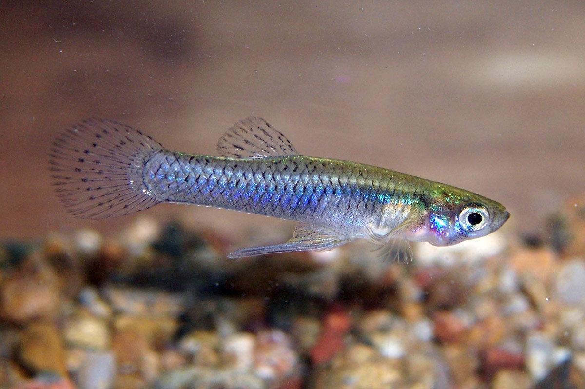 Вводоемы Сочи для борьбы скомарами выпустят 1 тыс рыбок гамбузии