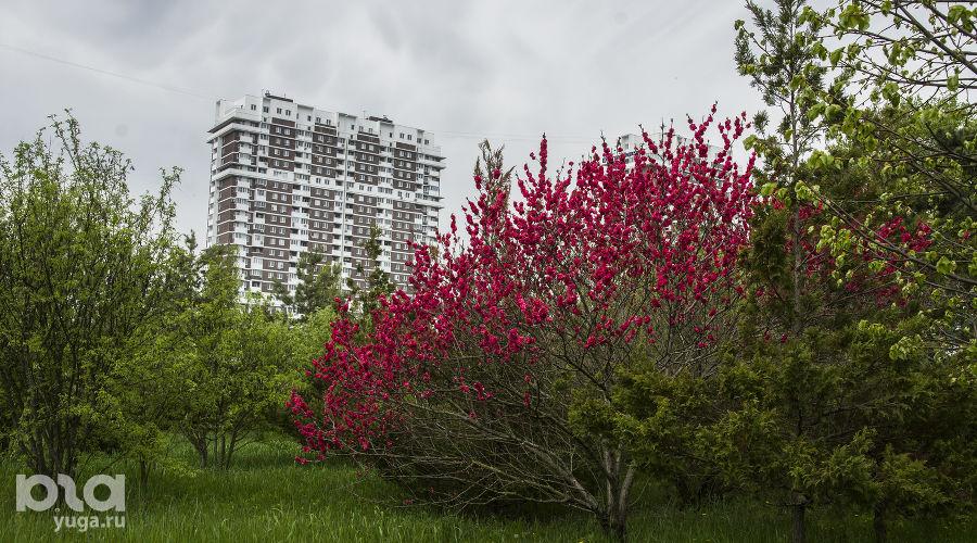 Хеномелес ©Фото Иолины Грибковой, Юга.ру