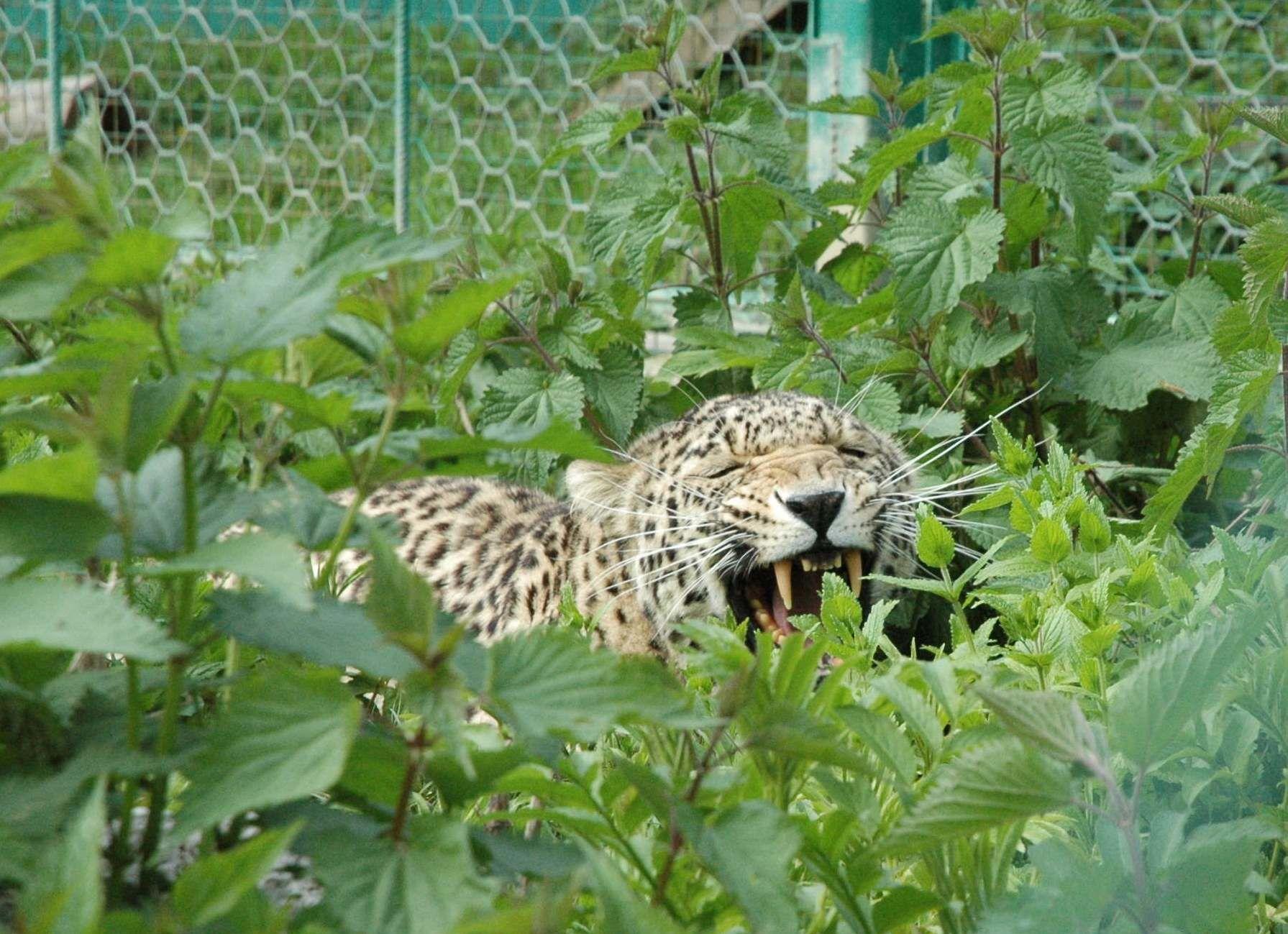 Переднеазиатский леопард ©Фото Умара Семенова