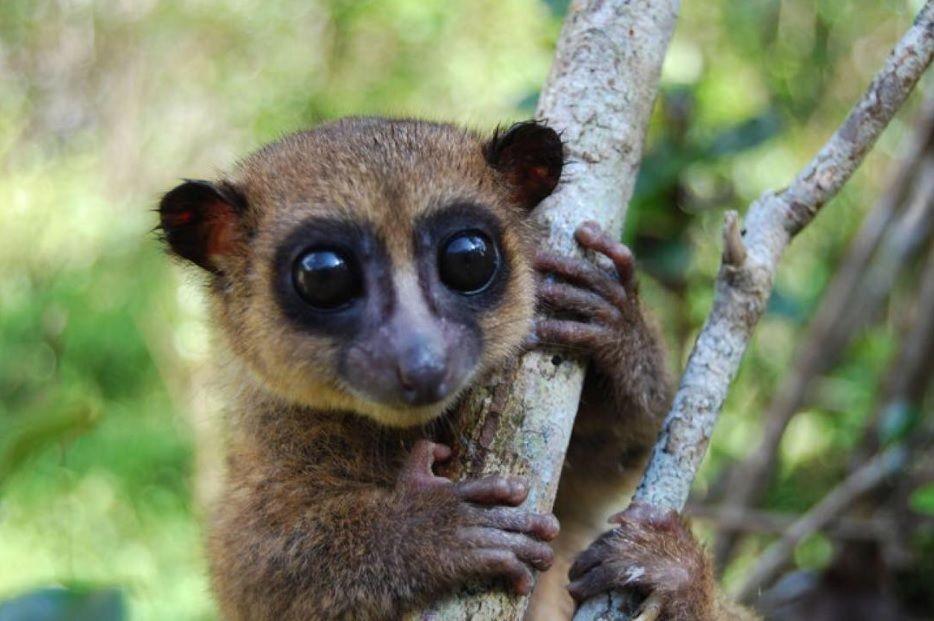 Новый вид карликовых лемуров отыскали наМадагаскаре