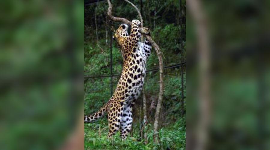 leopard_pedneaziat.jpg ©Фото Юга.ру