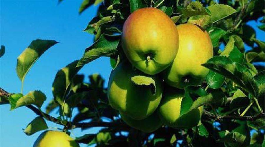 Яблоки ©Фото Юга.ру