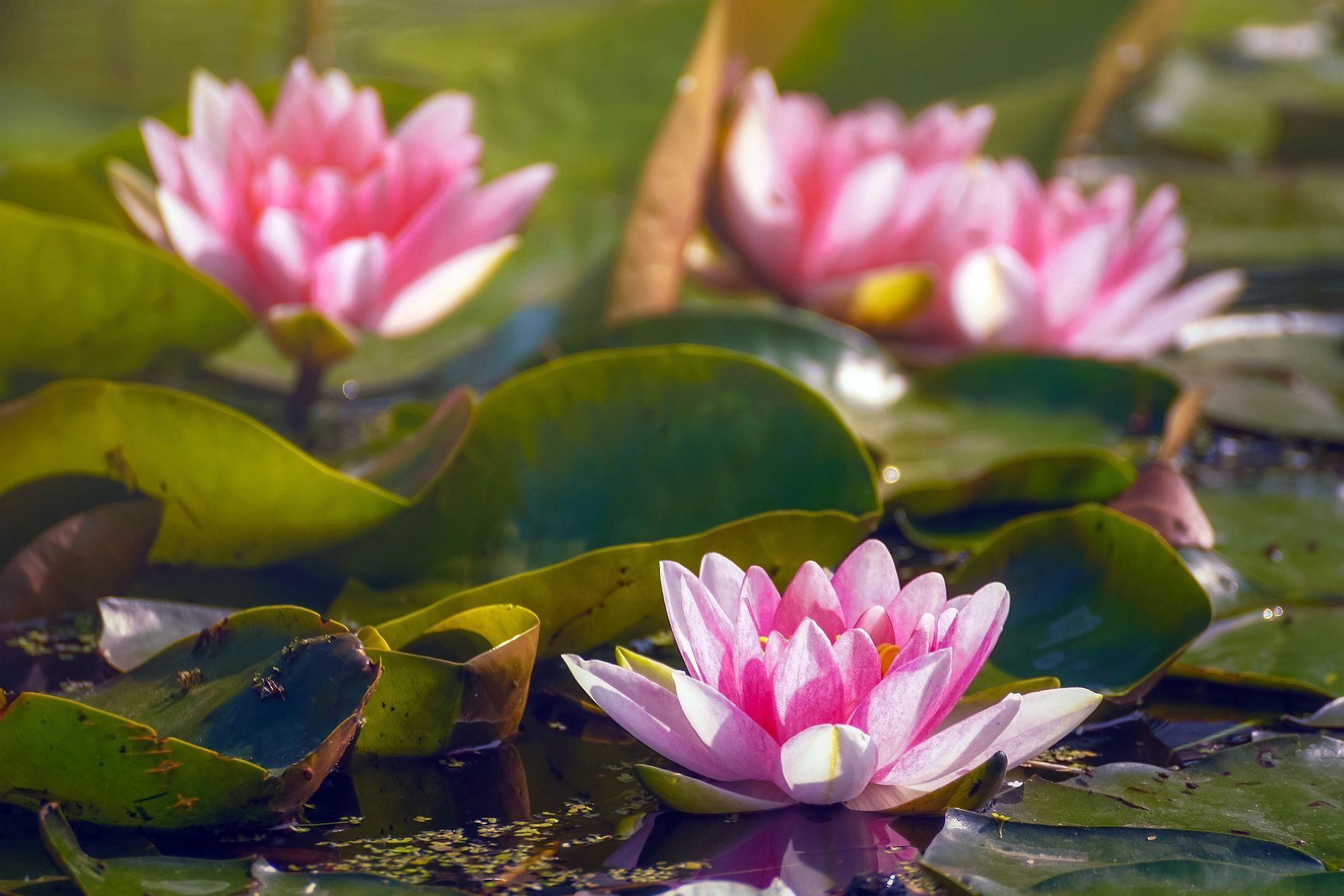 Цветение лотосов ©Фото Su Ju, pixabay.com