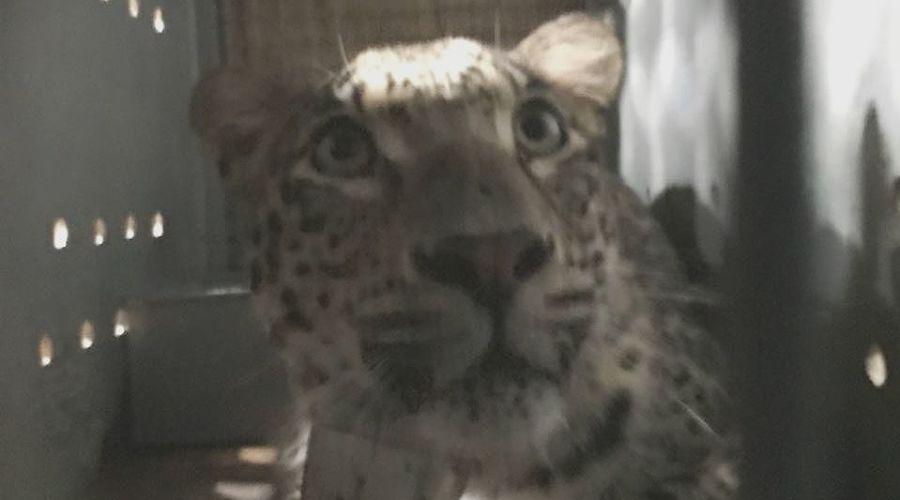 Леопард  ©Фото пресс-службы Кавказского заповедника