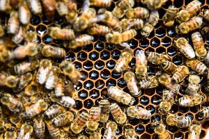 Существует около 21 тыс. видов и 520 родов пчел. Их можно обнаружить на всех континентах, кроме Антарктиды.